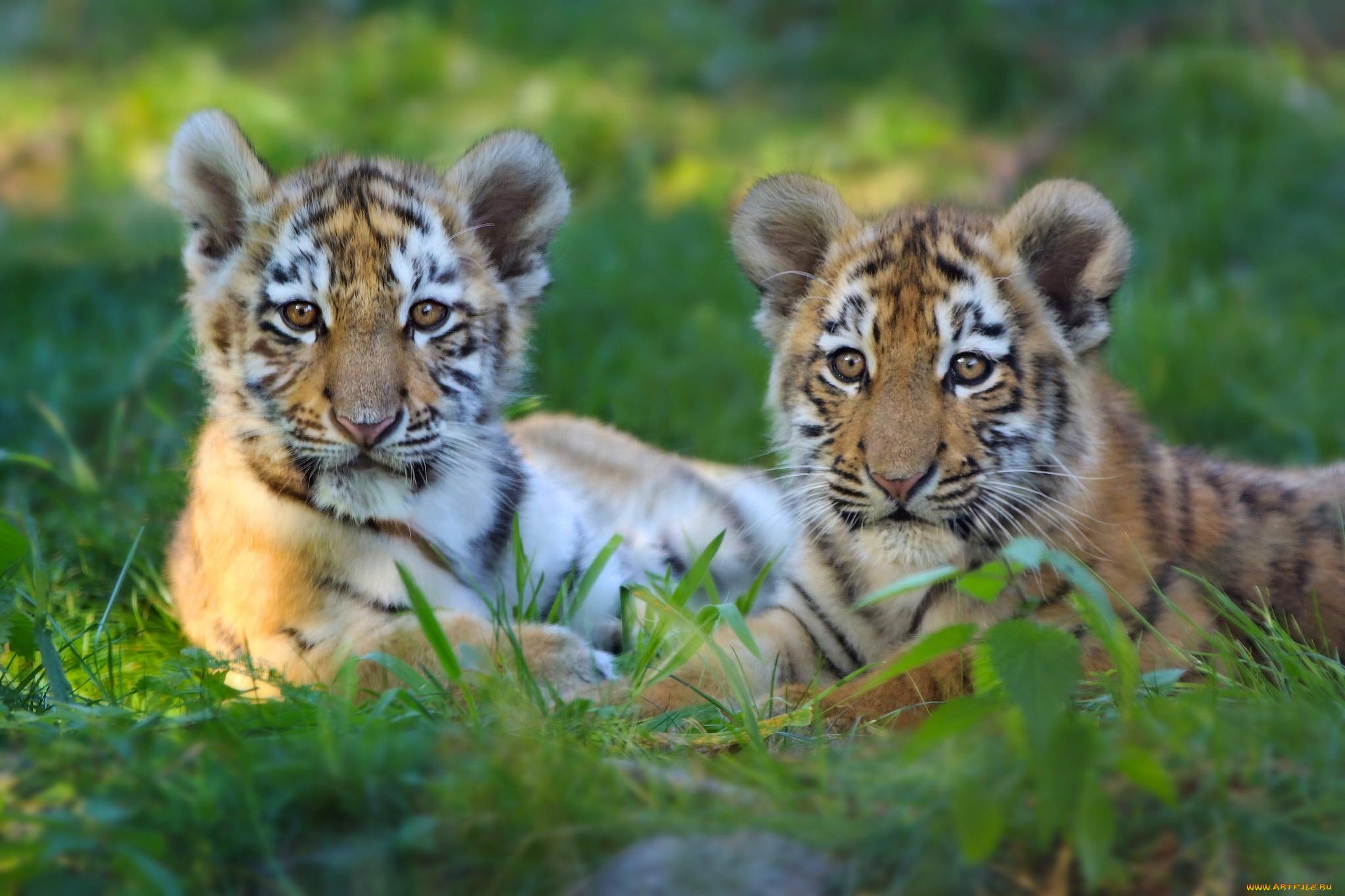 Животные картинки тигрята